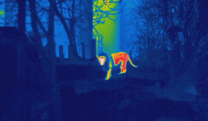 infra-red-lion