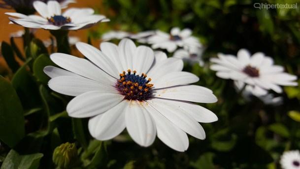 Galaxy S6 Edge Foto 16 macro flor