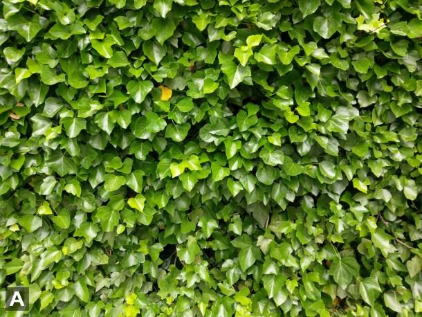 NTD plantas