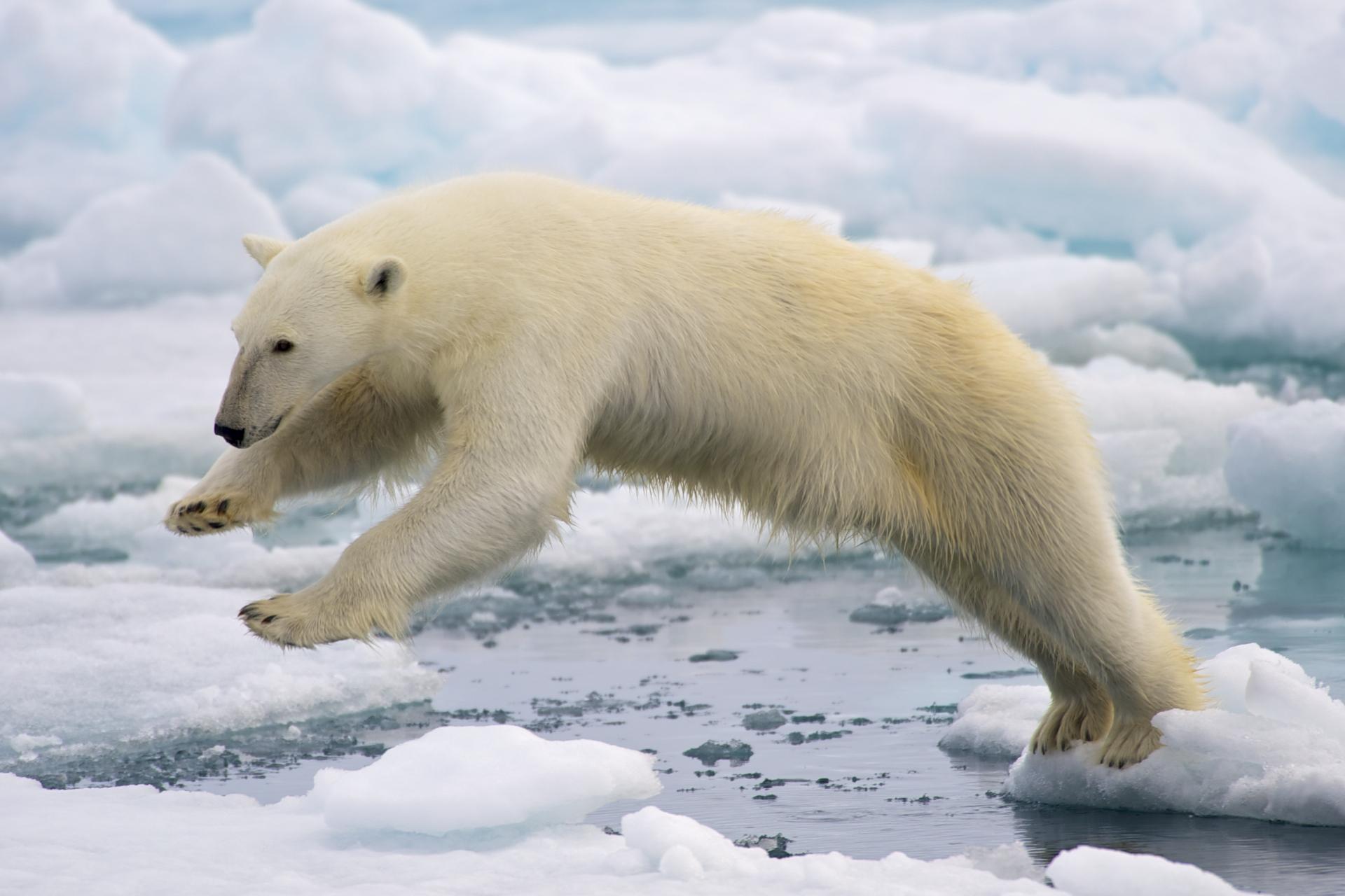 osos polares