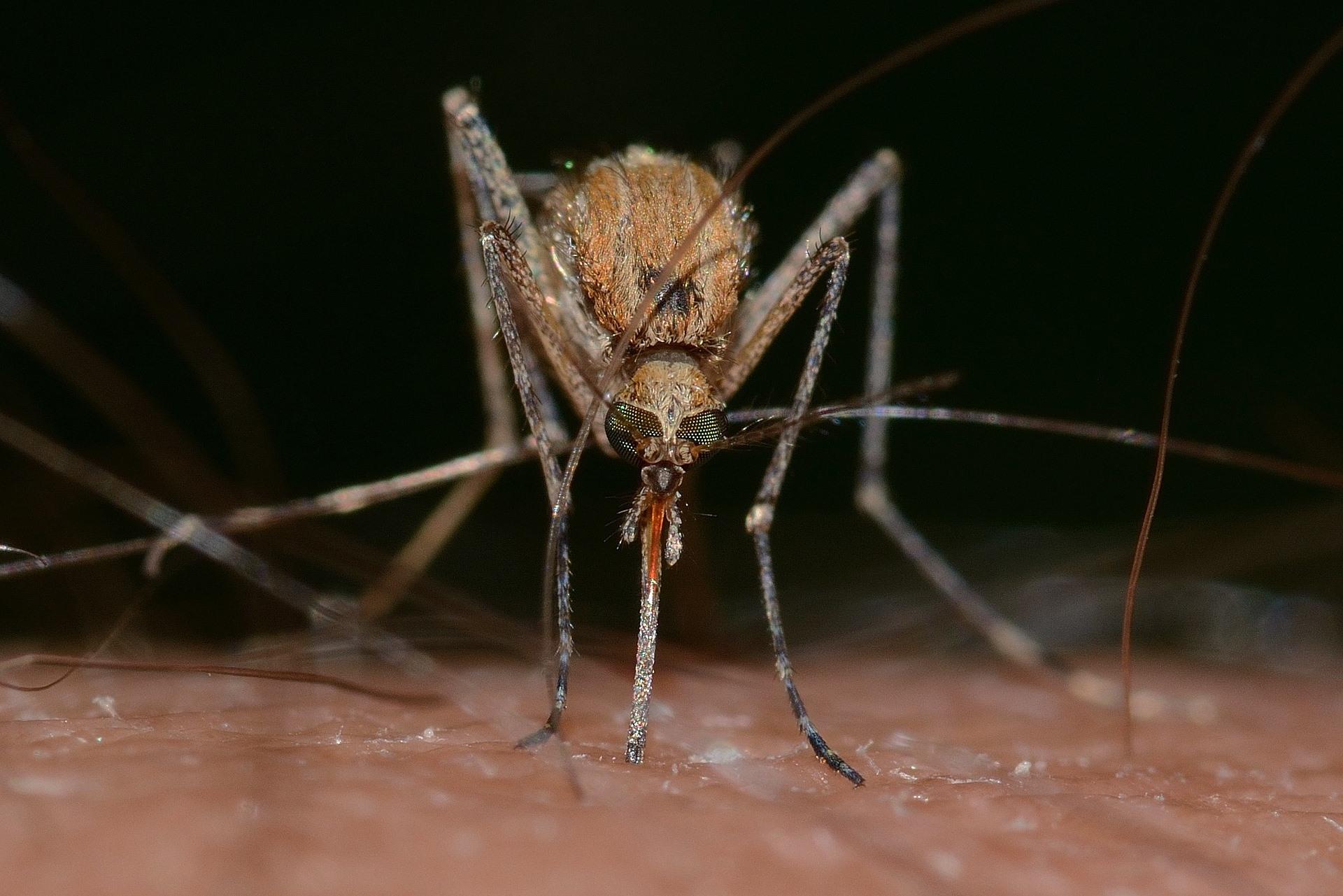 coronavirus a través de mosquitos